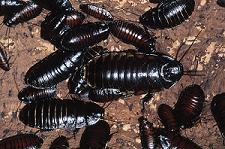 Cockroach Allergies