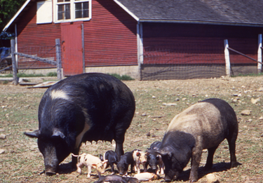 Two pigs with piglets eating in farmyard